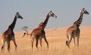 Giraffe on the Masai Plains