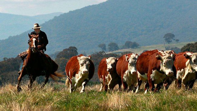 Australian Cattle Herding