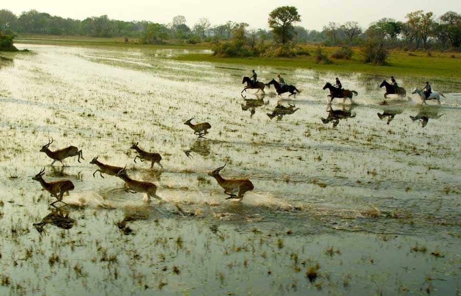 galloping through the flood plains chasing lechwe