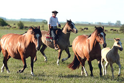 Gaucho and horses