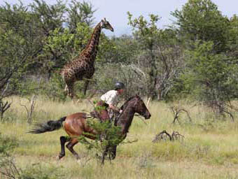 Viewing giraffe from horseback