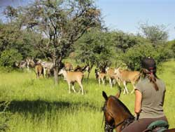 Riding with Eland in the game reserve