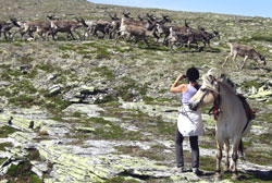 A wild reindeer herd in Rendalen Valley