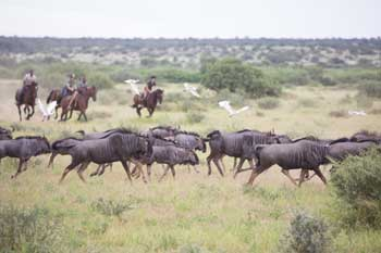 galloping with wildebeest