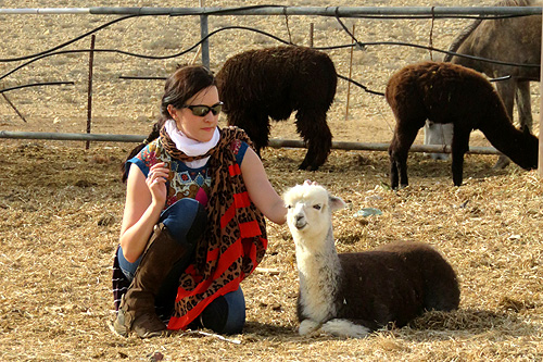 Alpaca farm in Israel