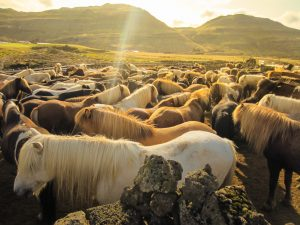 Icelandic horses catching some rays