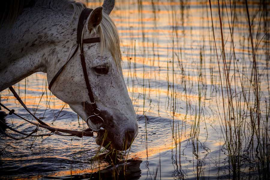 Horse drinking from the water