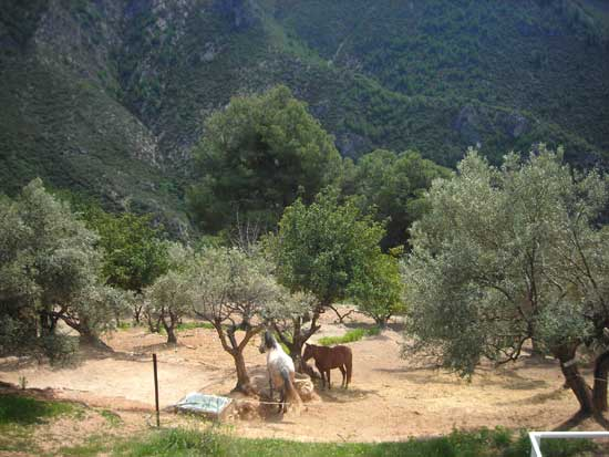 Horse paddocks amongst the olive groves