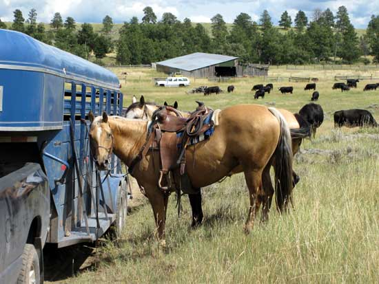 Trailering horses to cattle work