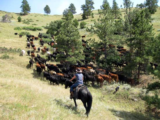 Driving cattle out of gulley