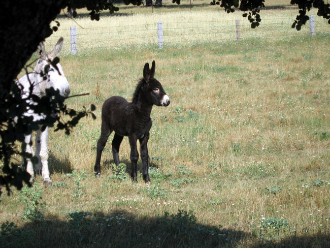 Donkeys are frequently seen