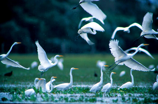 Birds in flight in the Pantanal, Brazil