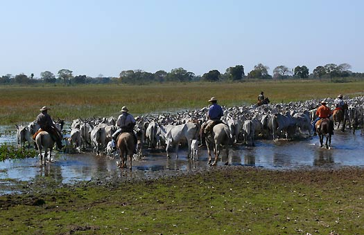 Driving cattle in the Pantanal, Brazil