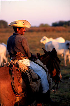 Pananeiro riding with cattle in the Pantanal, Brazil
