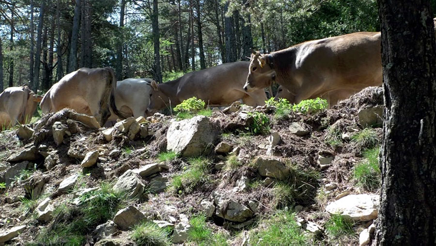 Cattle in the forest