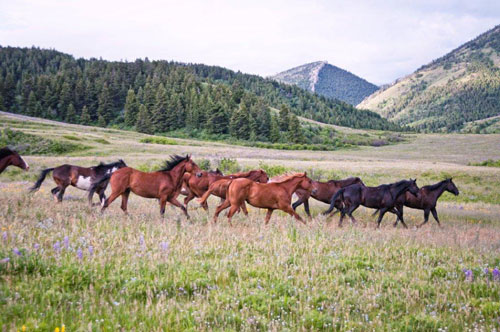 Horses coming into camp