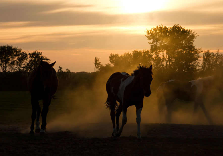 horses coming in early morning