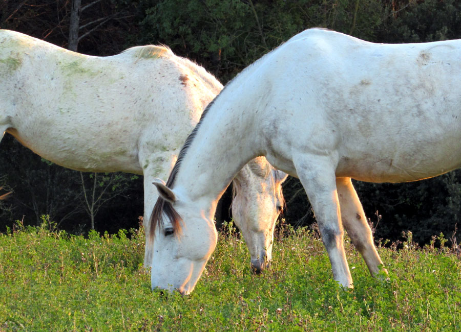 Andalusian horses grazing in December catalonia