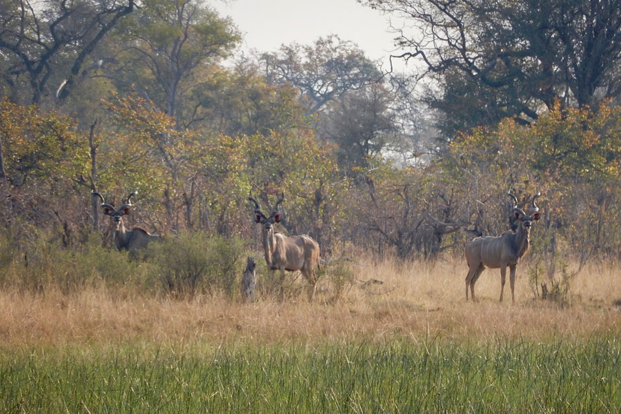 Kudu in the early morning light