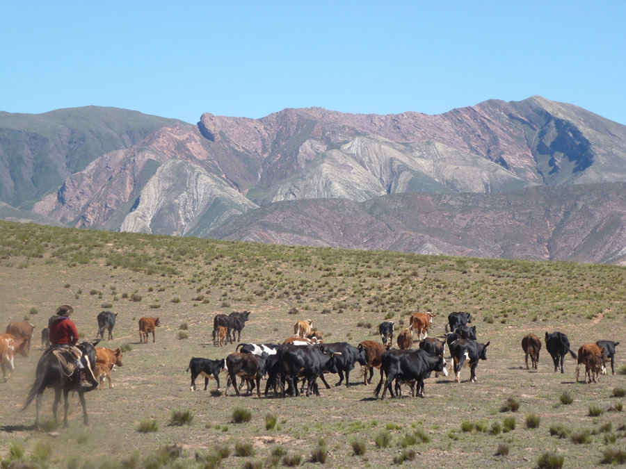 Herding cattle in the Andes