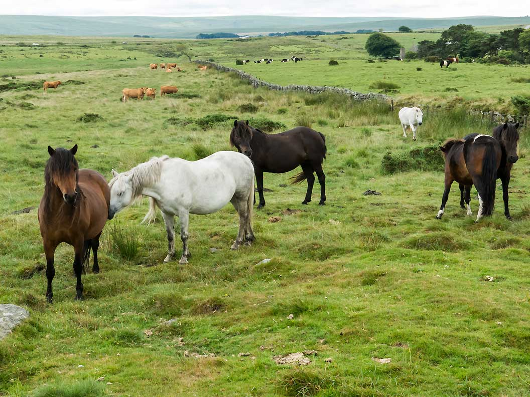 Dartmoor ponies roaming free on Dartmoor