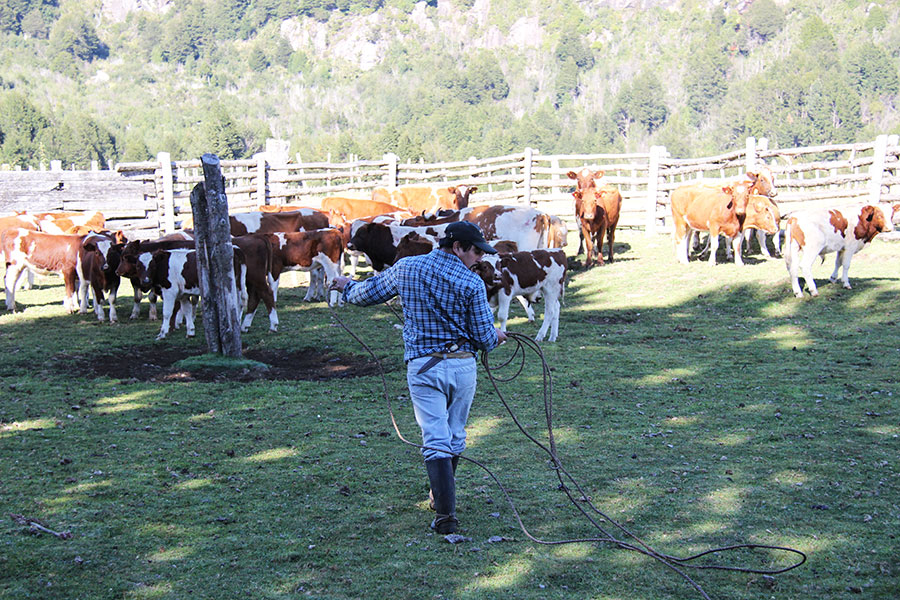 Catching cattle